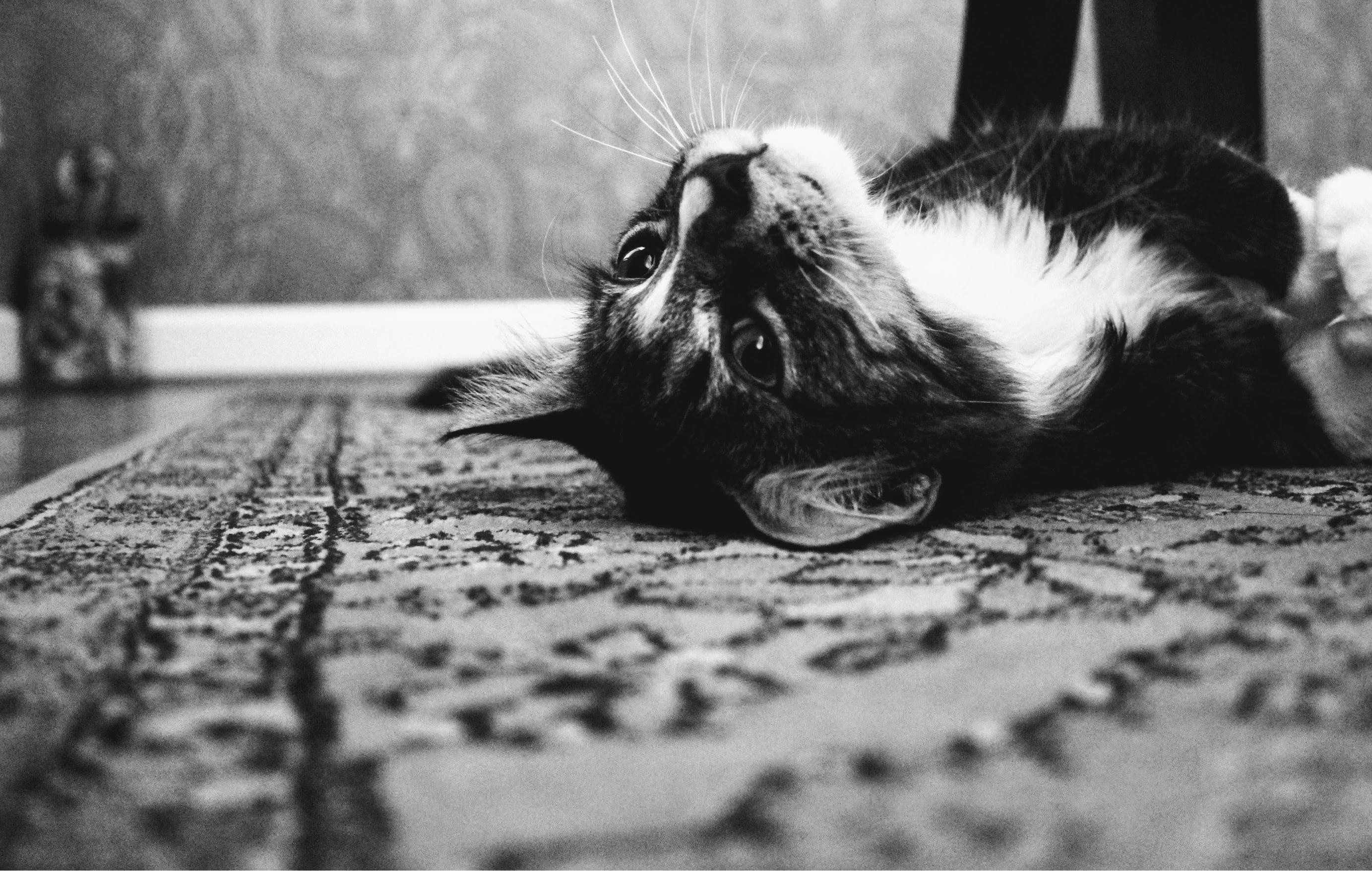 Photo of Tuxedo Cat Laying on Rug