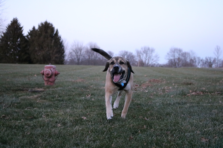 Free stock photo of dog, puppy, running