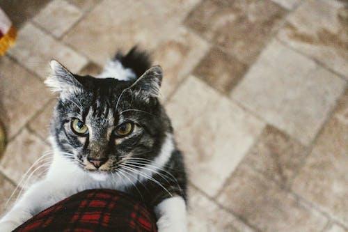 Безкоштовне стокове фото на тему «вуса, домашня тварина, кицька, кішка»