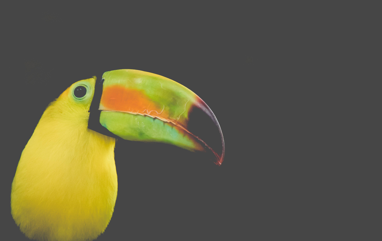 คลังภาพถ่ายฟรี ของ ramphastos, sulfuratus, toucan keel ที่เรียกเก็บเงิน, ดำ