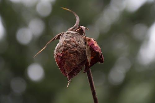 Photos gratuites de infestation, la mort a augmenté, magnifique, magnifiques fleurs