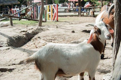 hayvan, hayvanat bahçesi, keçi, sevimli hayvanlar içeren Ücretsiz stok fotoğraf