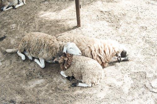 hayvan, hayvanat bahçesi, koyun, sevimli hayvanlar içeren Ücretsiz stok fotoğraf