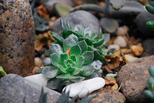 Two Green Succulent Plants on Rock