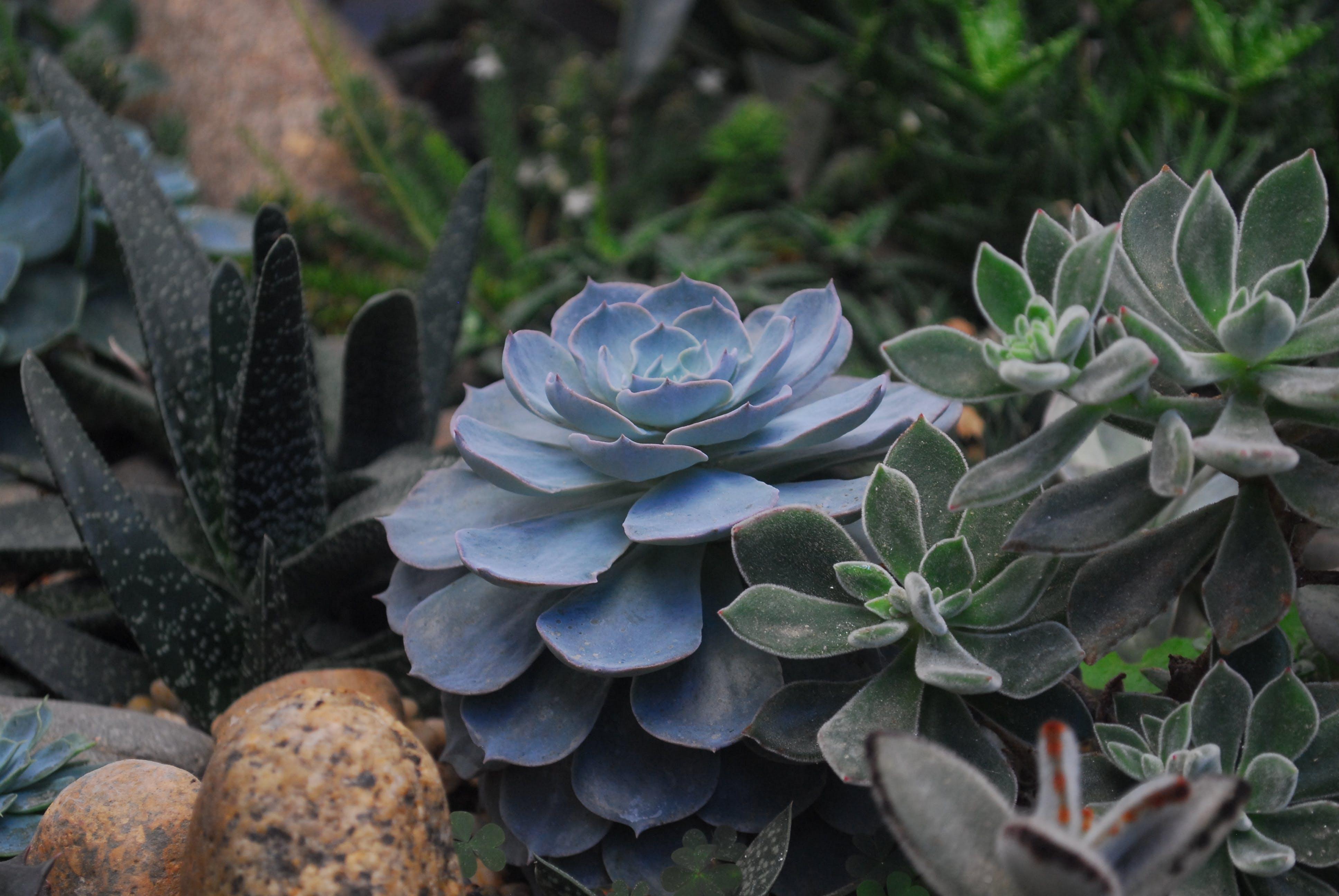 Echeveria Succulents and Panda Plant Closeup Photography