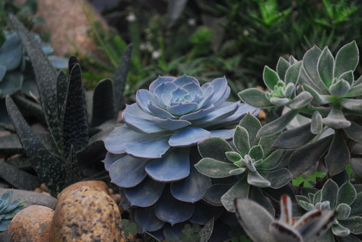 Echeveria Succulents and Panda Plant Closeup Photography