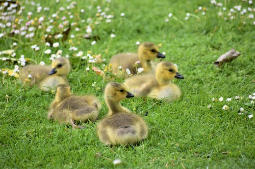Ducklings on the Grass