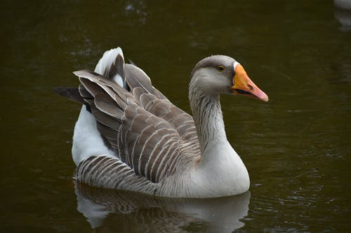 A Beautiful Gray Goose on the  Lake
