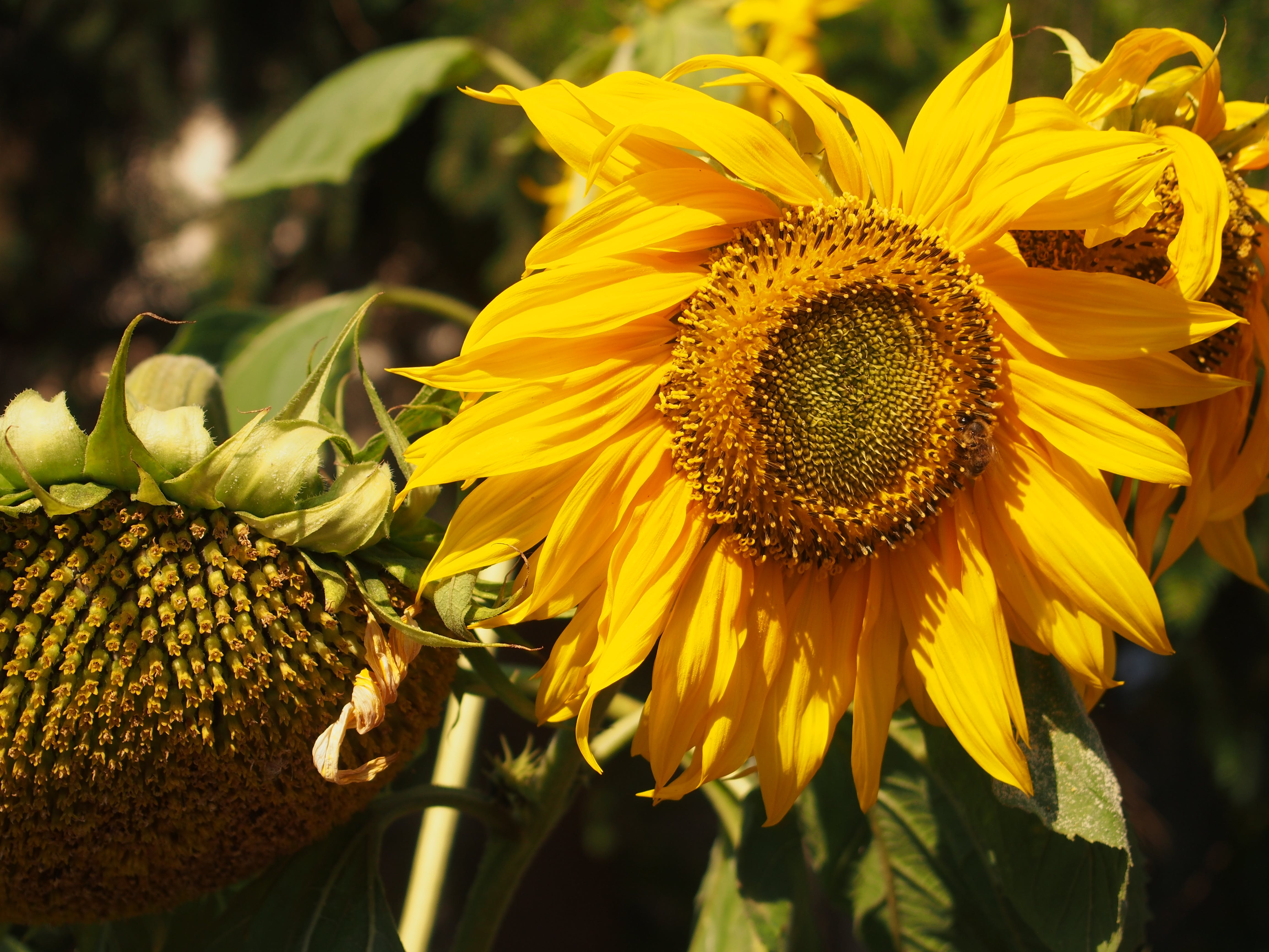 Yellow Sunflower in Closeup Photography