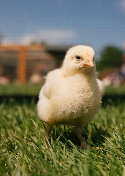 Kostnadsfri bild av bebis, bondgård, boskap