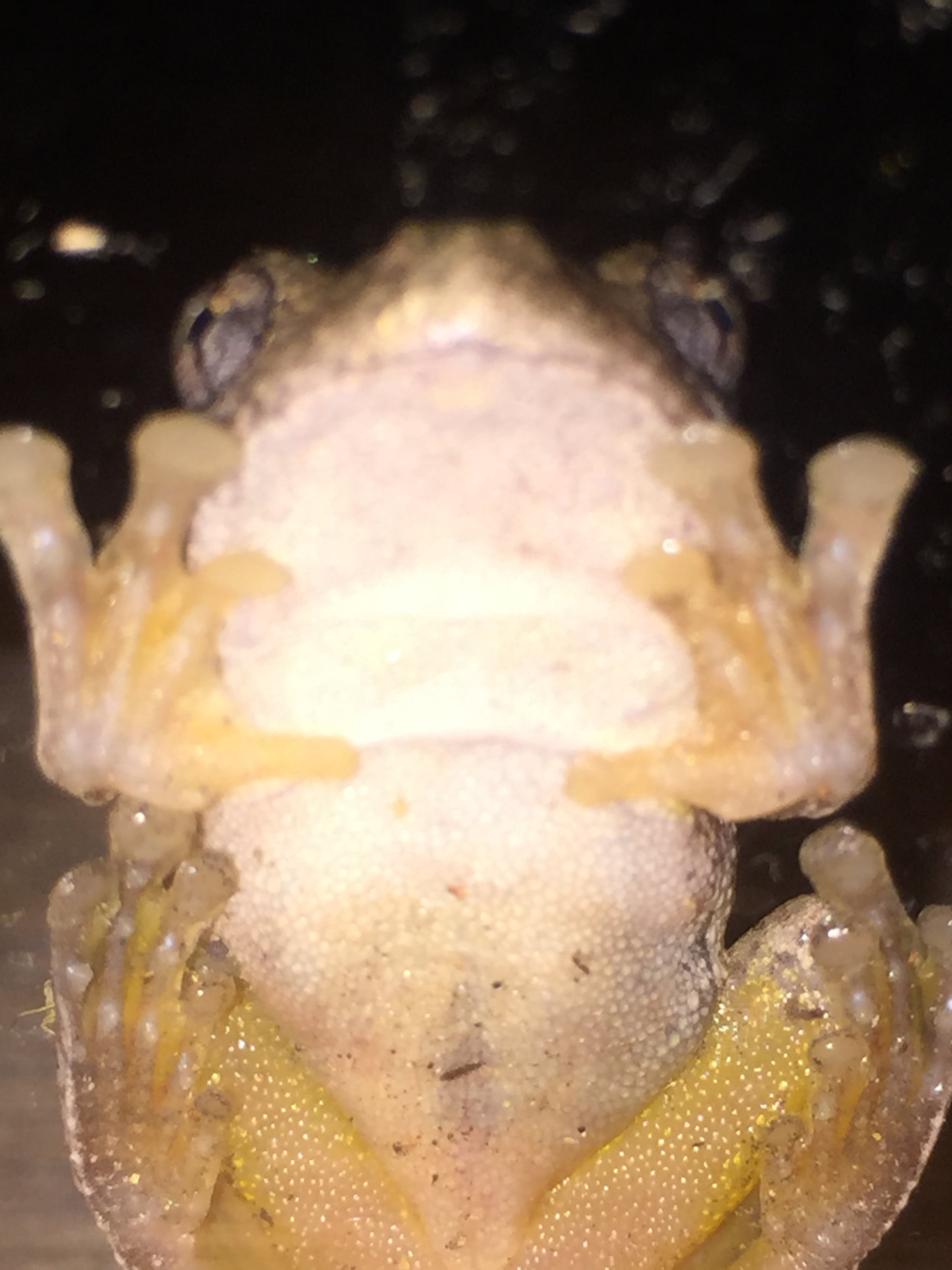 Free stock photo of Frog's belly, Undercarriage of Frog
