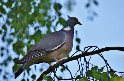 Free stock photo of bird, dove, wild bird