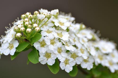 beyaz, Doğa Ana, güzel çiçekler, makro içeren Ücretsiz stok fotoğraf