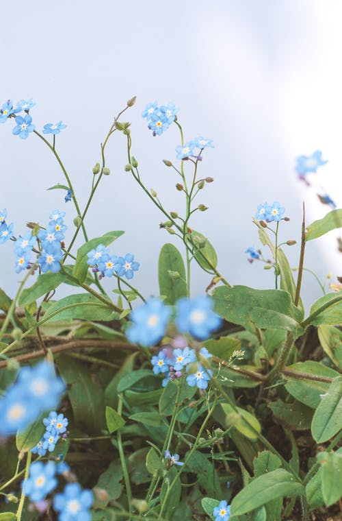 White and Blue Flowers With Green Leaves