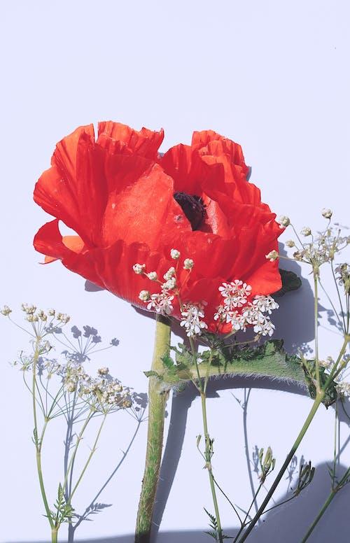 Free stock photo of anemone, beautiful flowers, bright
