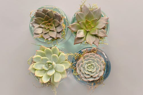 Four Green Succulent Plants With Glass Pot