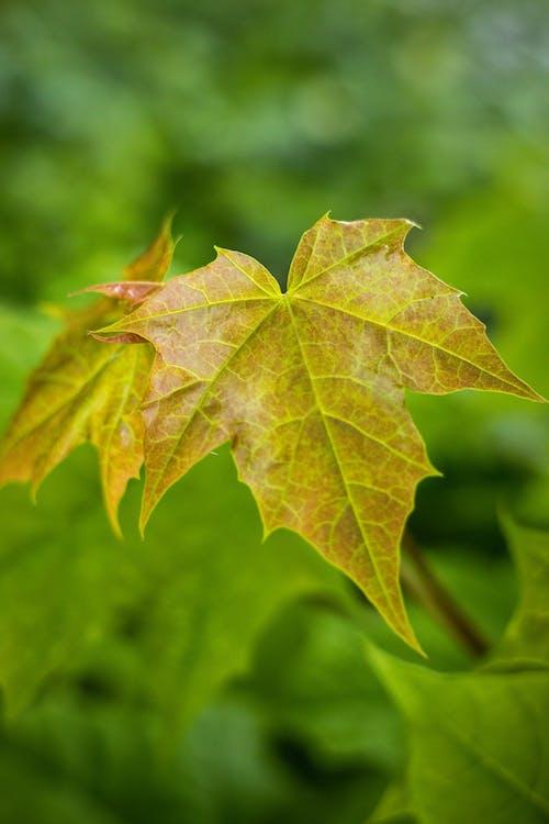 Golden Yellow Leaf in Tilt Shift Lens