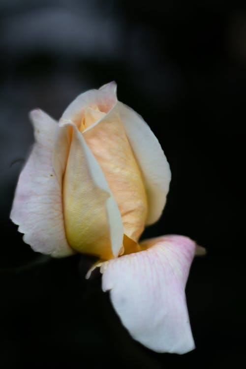 Closeup of delicate rose bud of pale yellow color with deviated petal on dark background