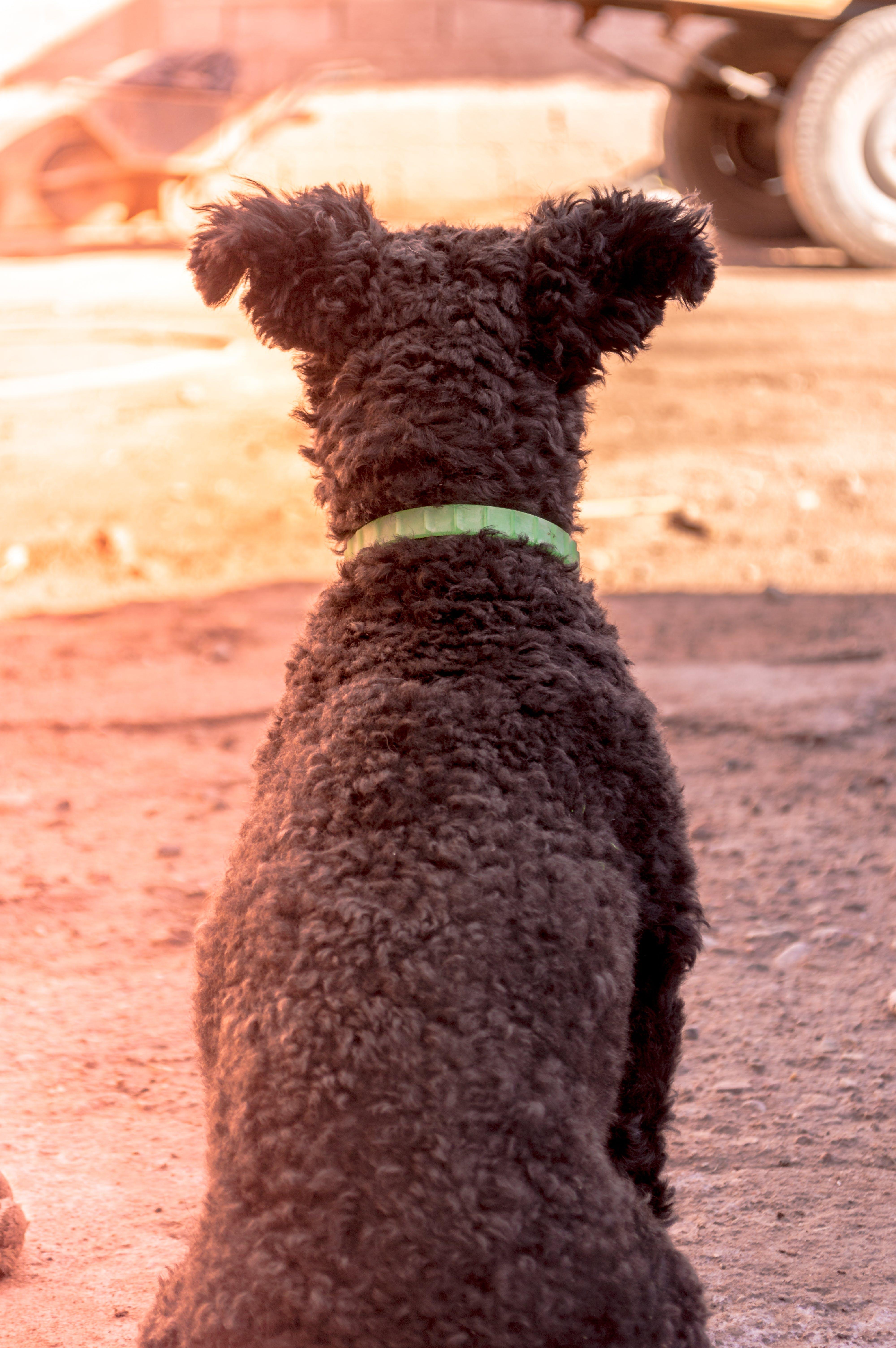 Grey Pumi Dog Closeup Photography