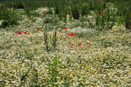 Free stock photo of chamomile, countryside, field
