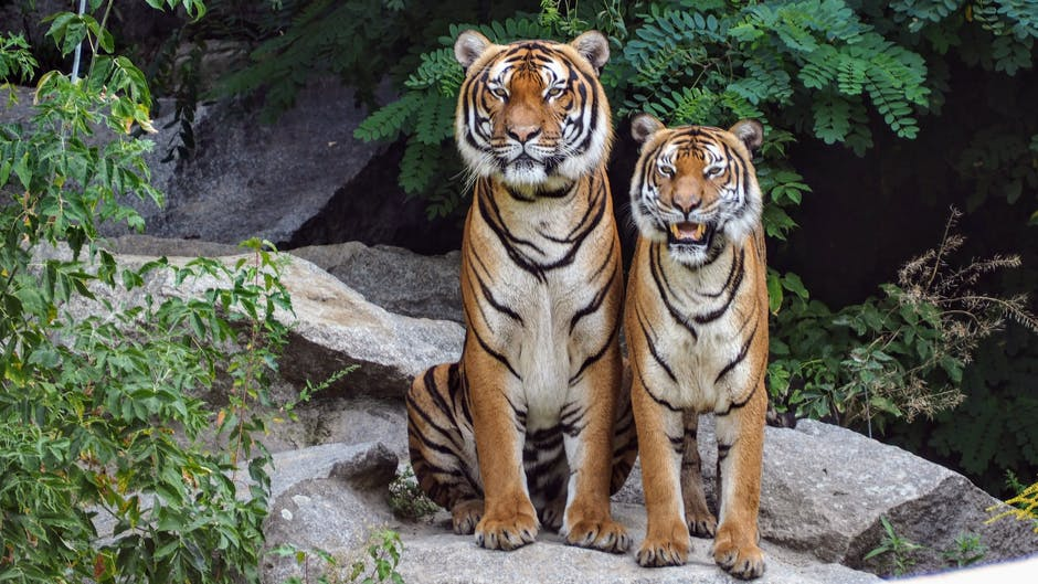 Two orange tigers sitting beside each other