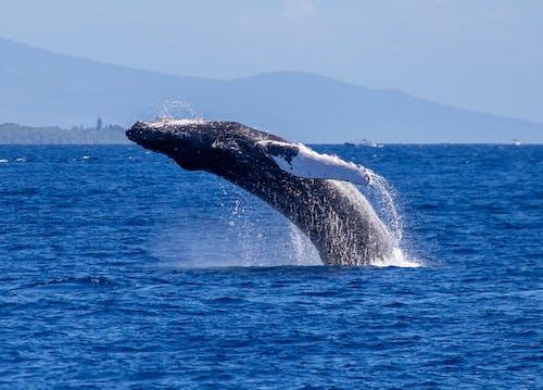 Free stock photo of humpback whale, maui, whale