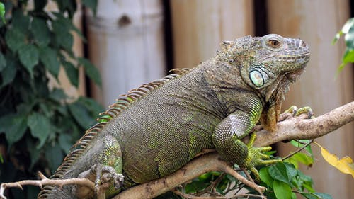Бесплатное стоковое фото с дерево, животное, зоопарк, игуана