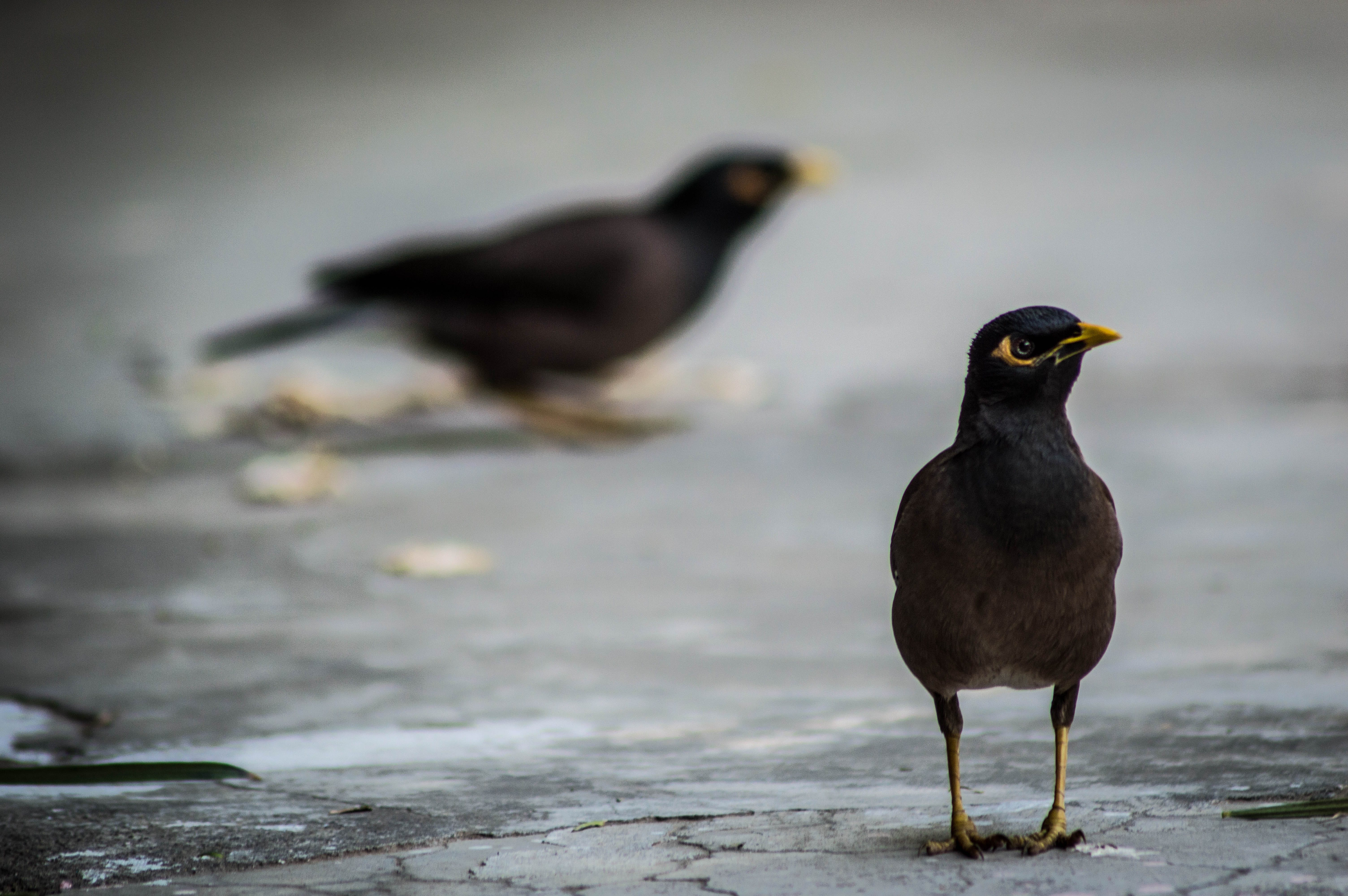 Selective Focus Photography of Black Bird on Gray Pavements