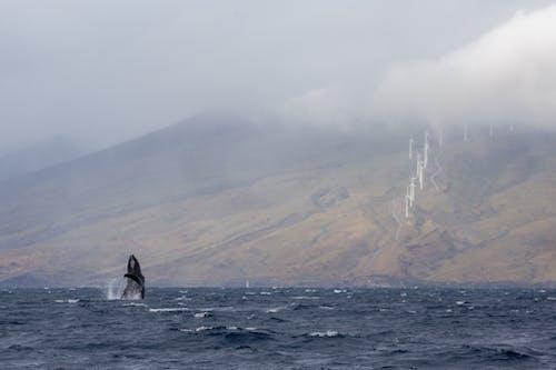 Free stock photo of hawaii, humpback whale, maui