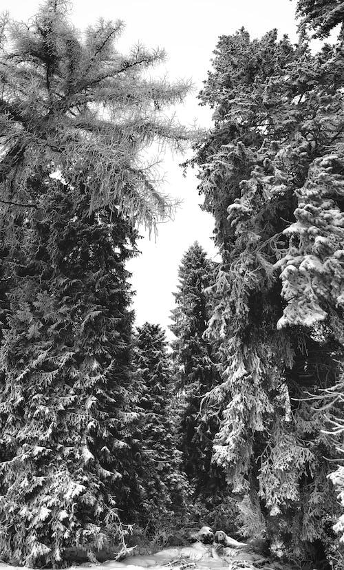 Foto profissional grátis de árvores, árvores brancas, céu cinza, coberto de neve