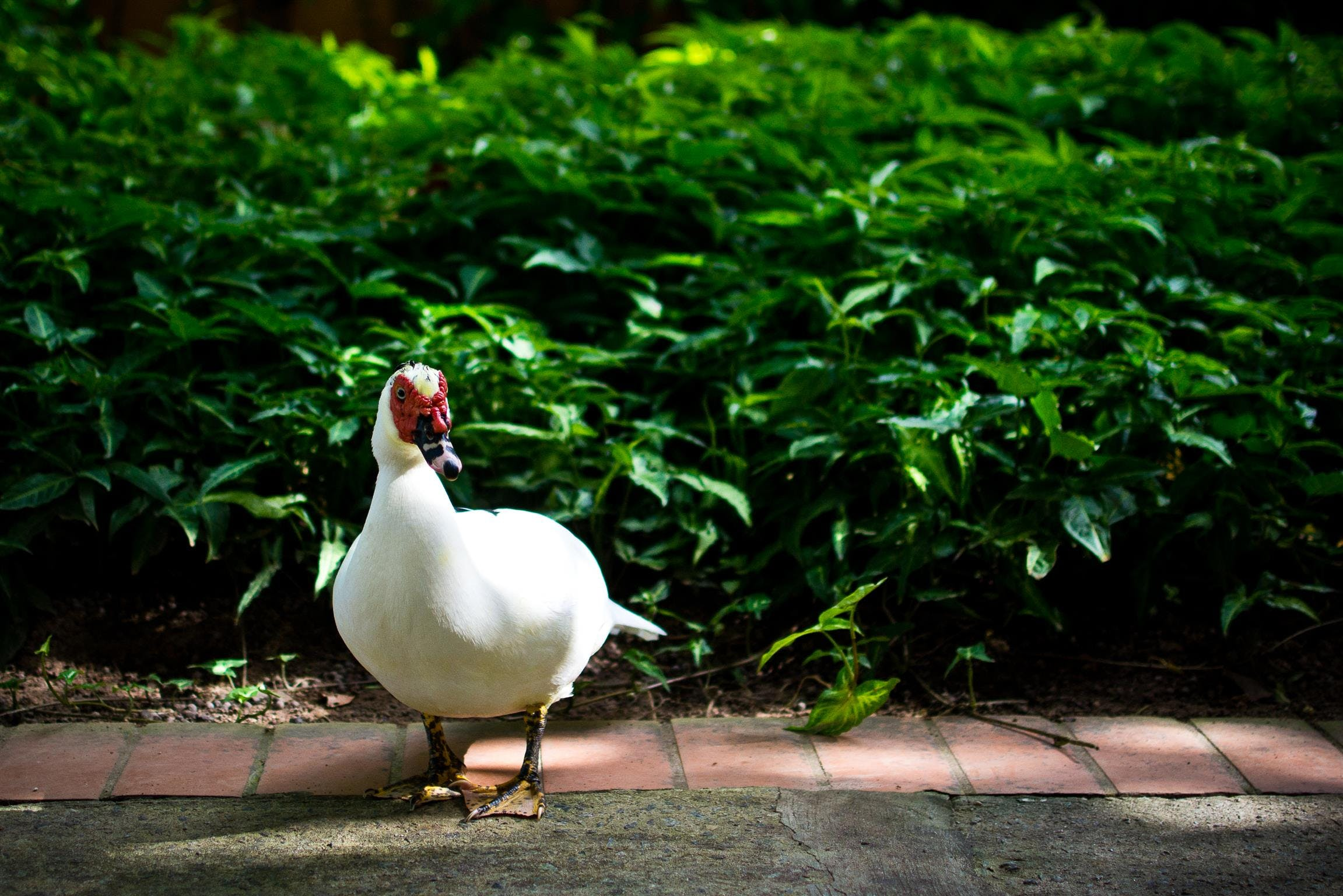 Free stock photo of duck, 35mm