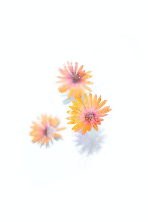 가벼운, 거베라, 계절의 무료 스톡 사진