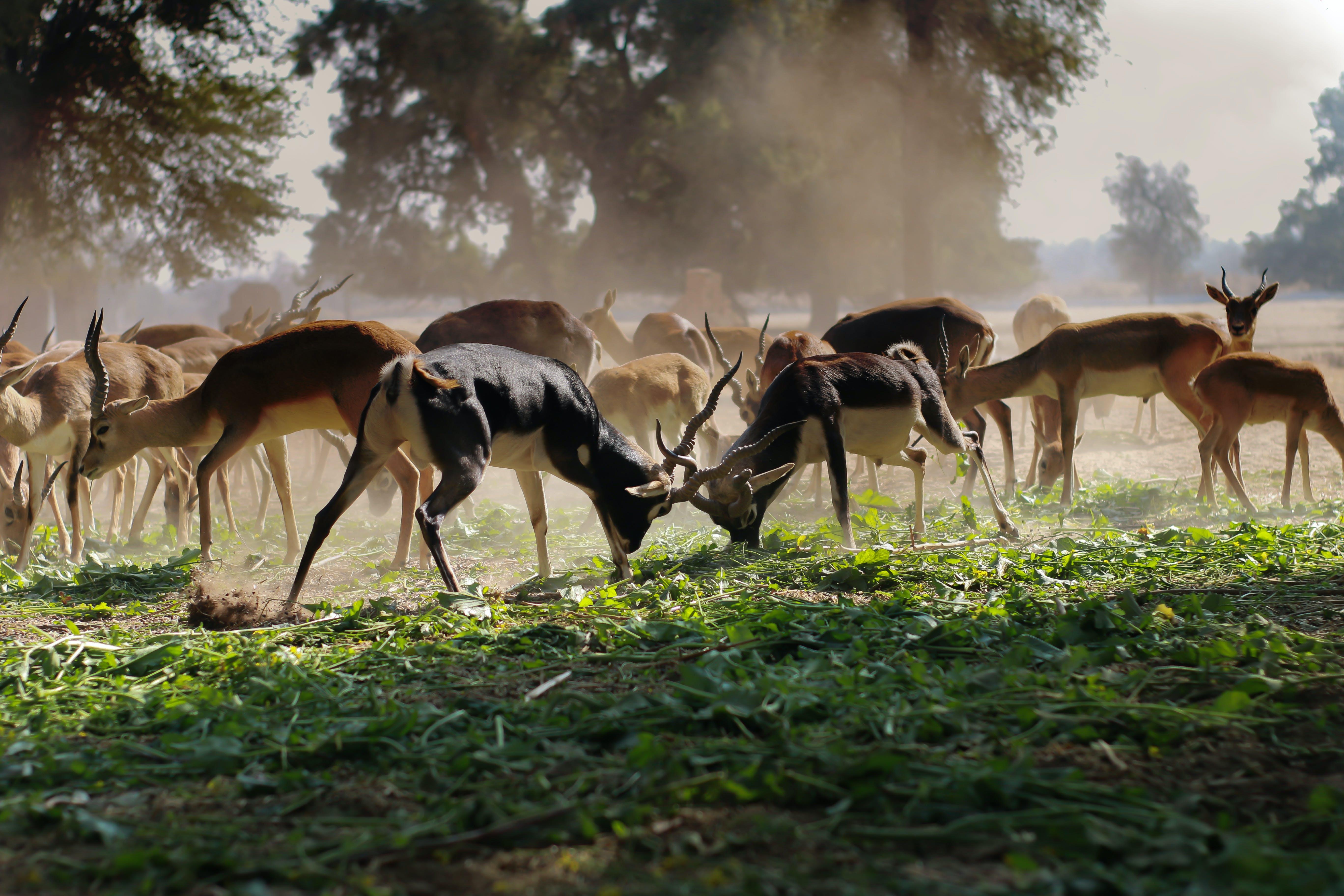 Flock of Brown Deer on Green Grass Field