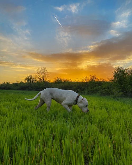 White Short Coated Dog on Green Grass Field during Sunset