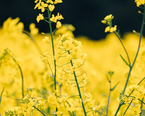 Close-Up Shot of Buttercup Flowers in Bloom