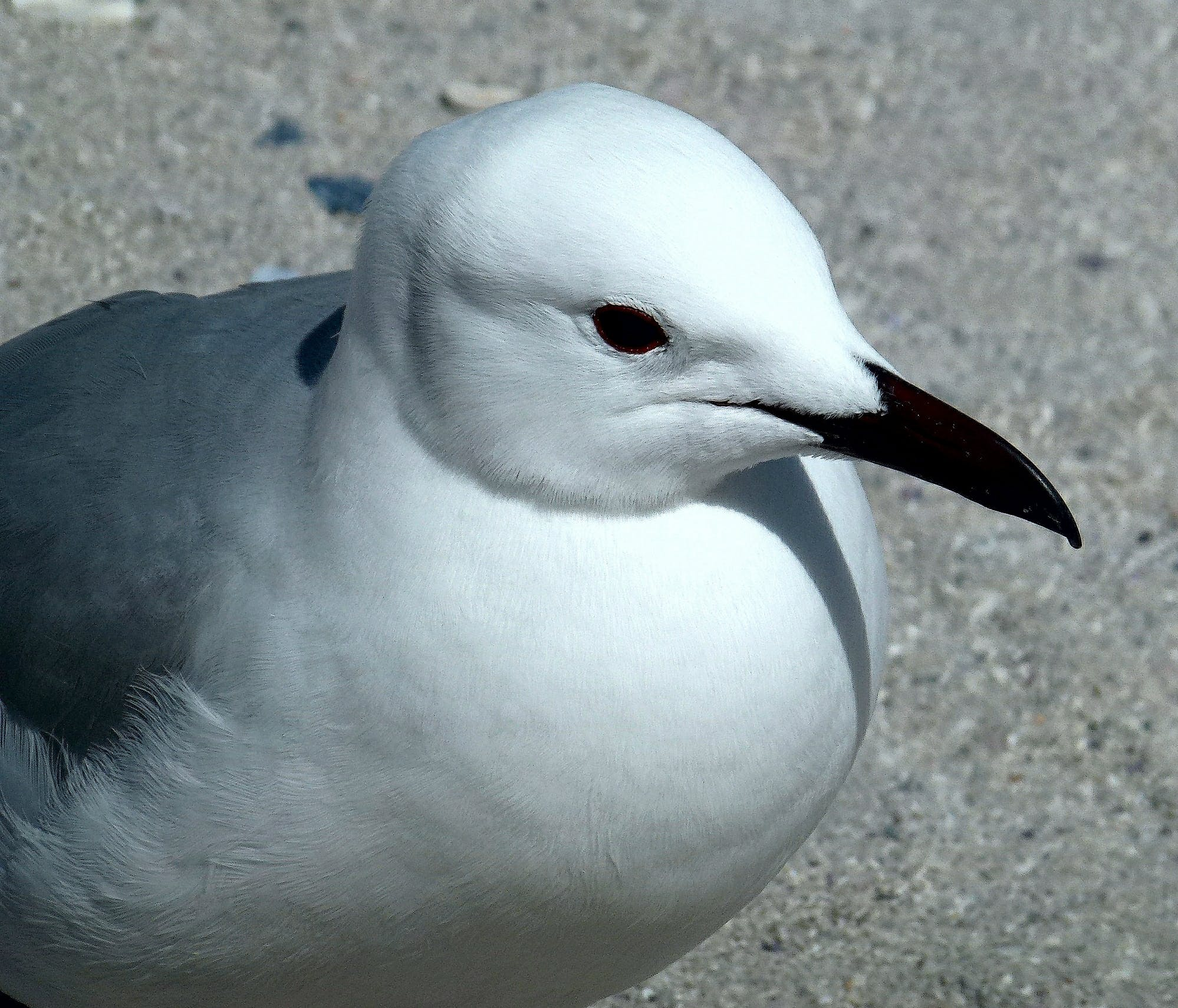 Free stock photo of nature, seagull
