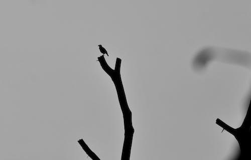 Ilmainen kuvapankkikuva tunnisteilla lintu, mustavalkoinen