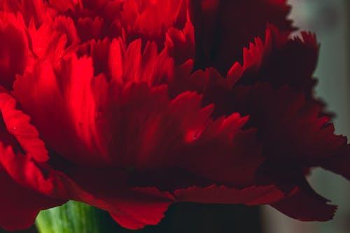 Macro Shot of a Red Carnation Flower in Bloom