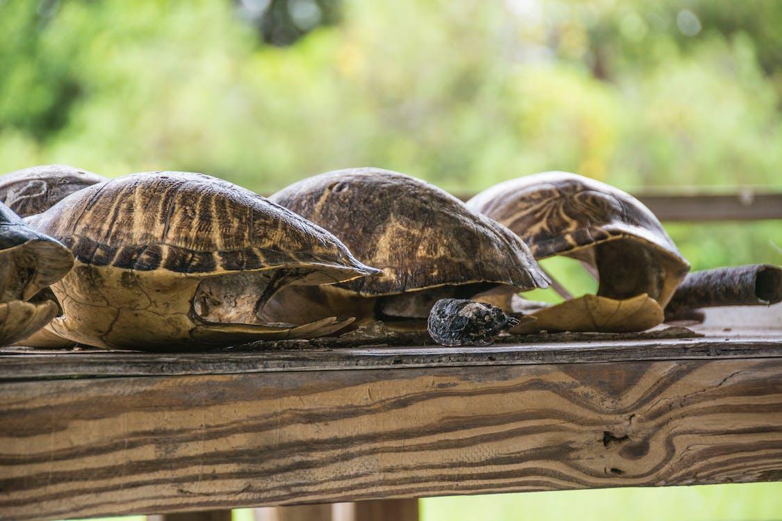 Fotos de stock gratuitas de caparazones de tortuga, conchas, tortugas