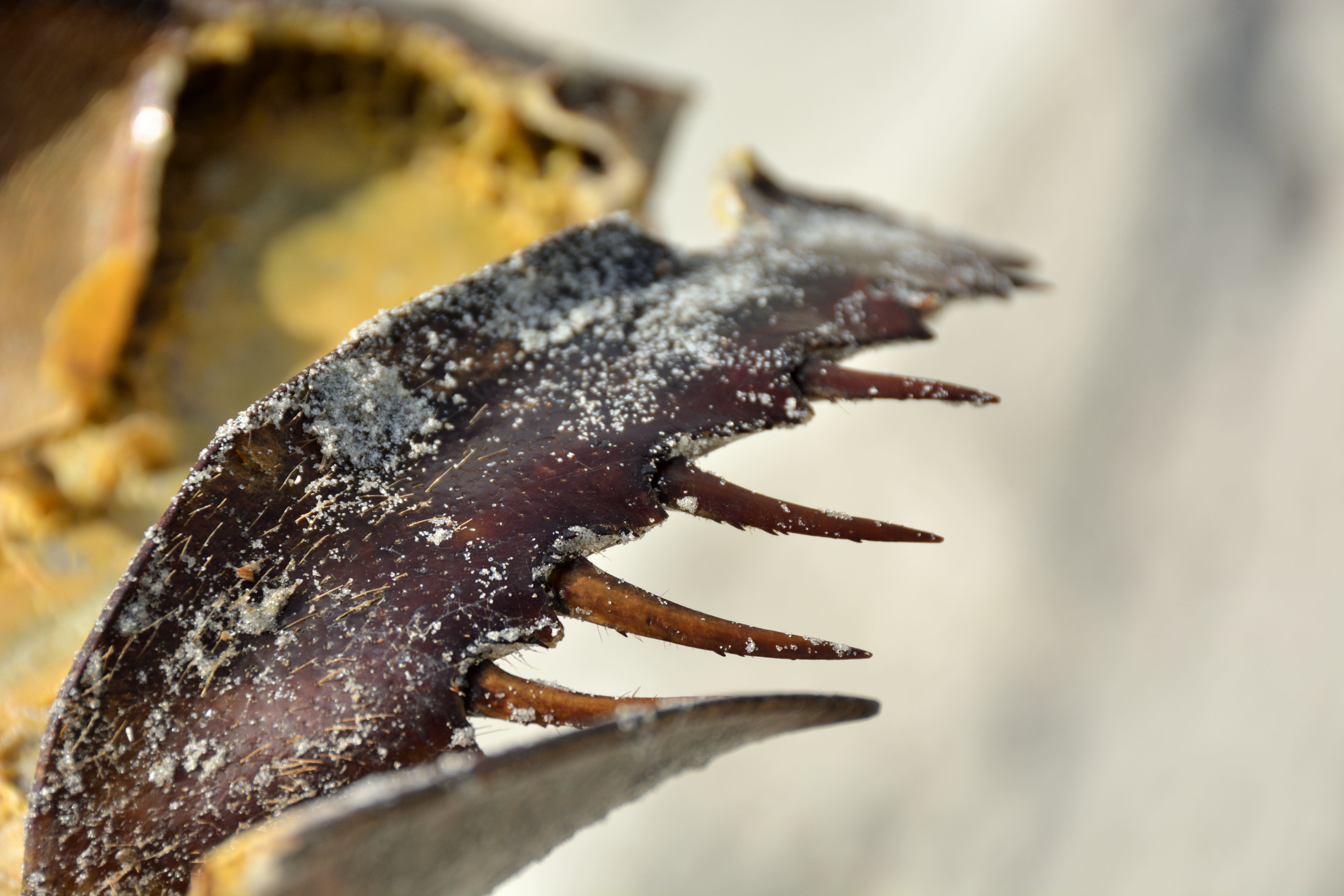 Free stock photo of sand, reptile, claws, Carcus