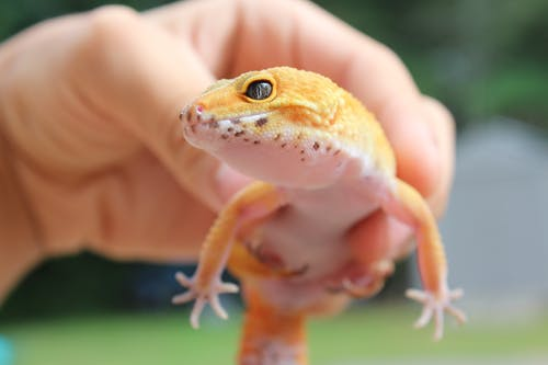 Close-Up Shot of a Person Holding a Leopard Gecko