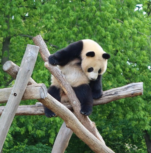 Panda Sitting on Top of a Wood
