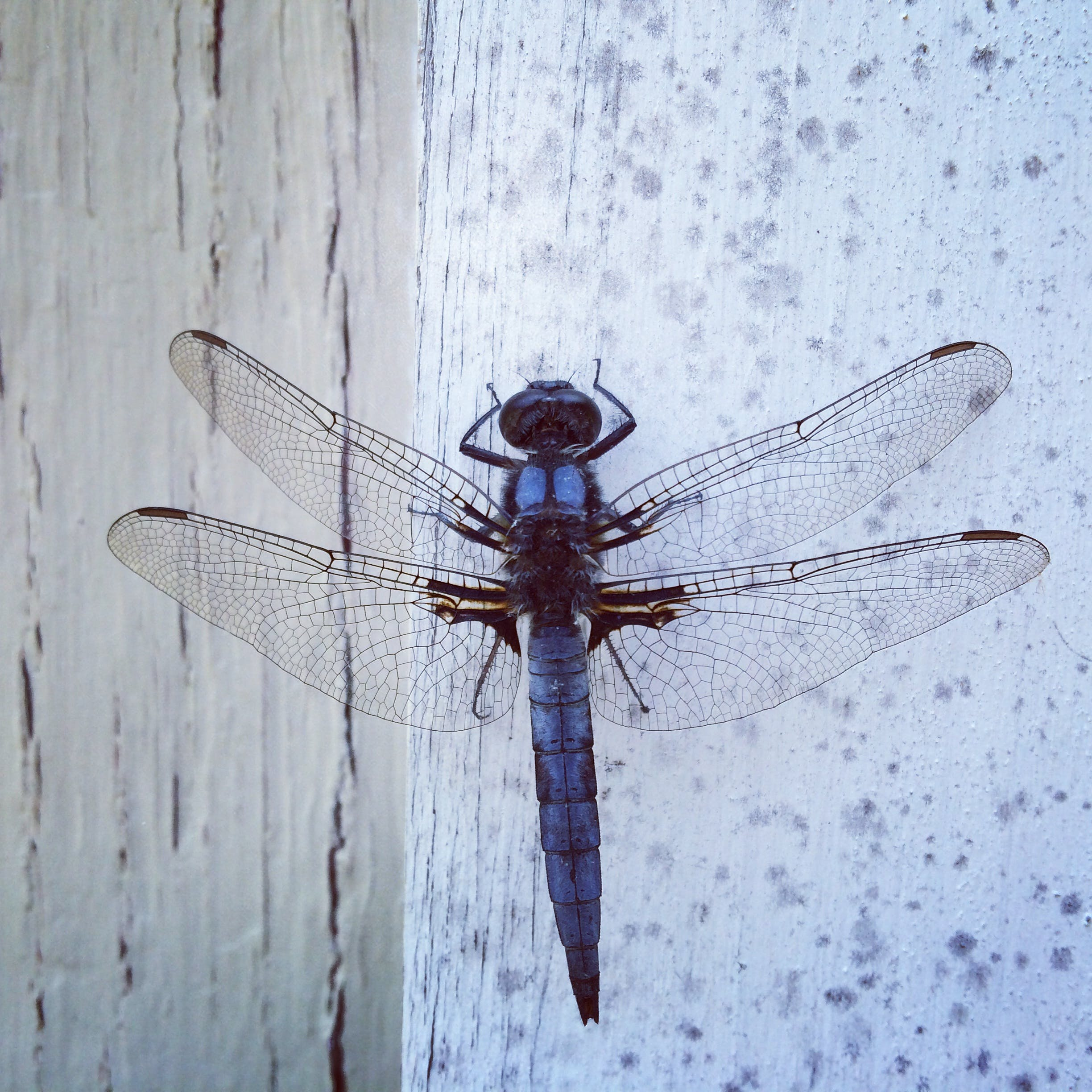 Blue Dragonfly On Wall