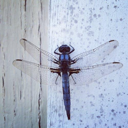 Photos gratuites de ailes, insecte, libellule, mur