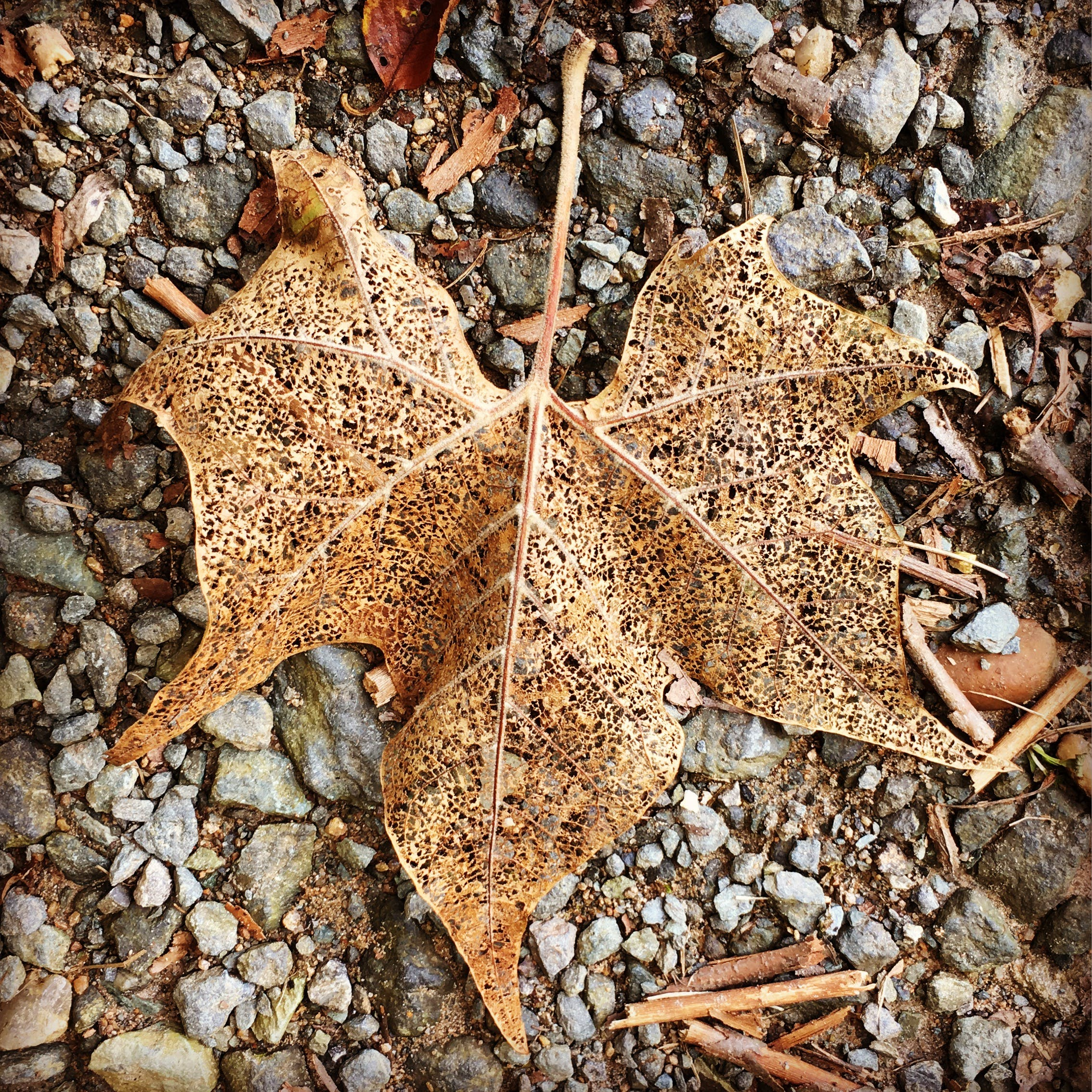 Withered Maple Leaf