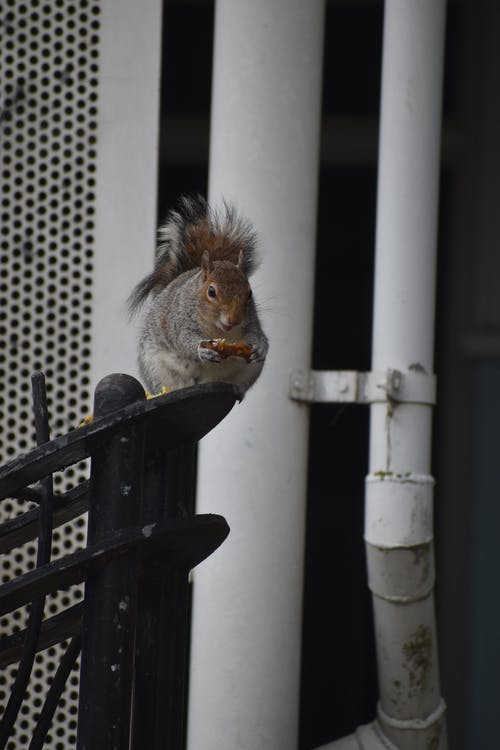 Gray Squirrel on Black Wooden Fence
