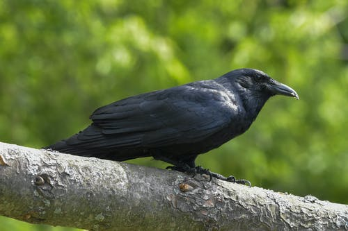 Black Crow on Gray Tree Branch