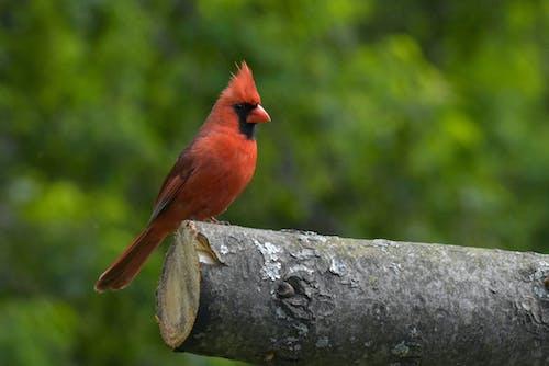 Free stock photo of avian, bird, crest