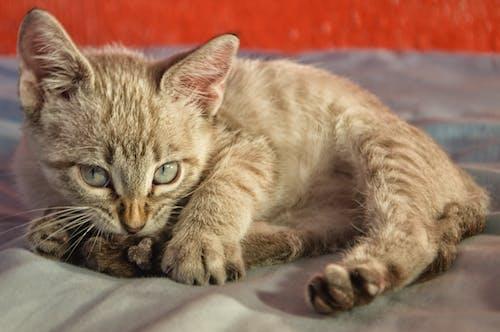 Foto d'estoc gratuïta de animal, bufó, gat, mascota