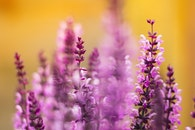 flowers, plant, violet